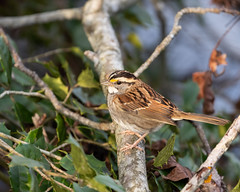 613A6648 (DavidMC92) Tags: canon eos 7d mark ii ef100400mm prime hook nwr national wildlife refuge delaware birds whitethroated sparrow