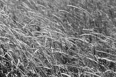 34790025 (onebellboy) Tags: wholerollproject wwwellsworthbellcom onebellboy fuji acros 100 nikonfe 50mmseriese thedarkroom blackandwhite maine summer montreal