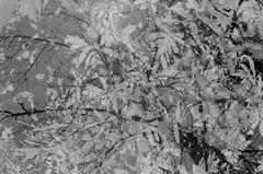 34790027 (onebellboy) Tags: wholerollproject wwwellsworthbellcom onebellboy fuji acros 100 nikonfe 50mmseriese thedarkroom blackandwhite maine summer montreal
