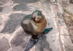 Hello (Tony.Brasier) Tags: sea lion sun flickr fun fishing fantastic nikond7200 golden sweet lovely location