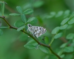Checkered Skipper - 1 - 1 (Mikael Behrens) Tags: mikaelbehrens goliad wildlife insect butterfly texas unitedstatesofamerica