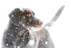 Snowy Sammy (WeatherlyKC) Tags: chocolatelab labradorretriever labrador lab labs chocolate dog dogs hounddog retriever snow brown snowy snowstorm snowing winter winterwonderland