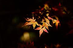 maple leaves (Christine_S.) Tags: japanesemaple nature autumn fall fujixt3 xf80mmf28 sunlight light foliage colors japan closeup ngc npc