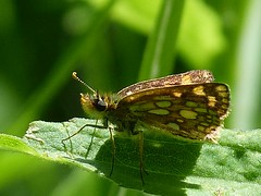 P1090123  Arctic Skipper (birder2015 Toronto, Canada) Tags: arcticskipper butterfly lepidoptera insect