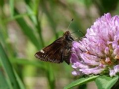 P1090078  Hobomok Skipper, female Pocahantas form at Red clover (birder2015 Toronto, Canada) Tags: hobomokskipper pocahantasform butterfly lepidoptera insect wildflower redclover