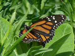 P1090485  Monarch--FOY (birder2015 Toronto, Canada) Tags: monarch butterfly lepidoptera insect