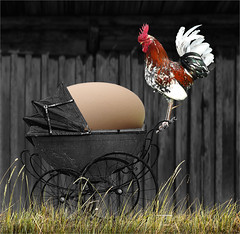 Papa poule... So proud. (pixxicato) Tags: egg rooster pride form function