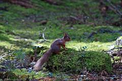 Eichhörnchen schön (margit37) Tags: vogel vögel natur baum eichhörnchen eichkätzchen bäume