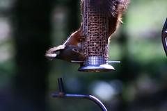 Eichhörnchen am Futterspender (margit37) Tags: vogel vögel natur baum