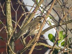 Redwing, 2019 Dec 15 -- photo 3 (Dunnock_D) Tags: britain chester england gb uk unitedkingdom bird perched perching redwing thrush tree