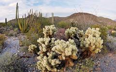 Sonoran Desert Biota (BongoInc) Tags: cactus cholla saguaro sonorandesert arizona organpipecactusnationalmonument
