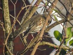 Redwing, 2019 Dec 15 -- photo 2 (Dunnock_D) Tags: britain chester england gb uk unitedkingdom bird perched perching redwing thrush tree