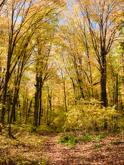 Mere guests in the temple (Wicked Dark Photography) Tags: landscape wisconsin autumn fall ferns foliage forest nature path trail woods