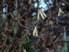 Getting ready for spring (CAJC: in the PNW) Tags: sonyrx100m5 nikviveza niksoftware hazelnutcatkins yesitsraininginseattle lightroomclassic harrylauderswalkingstick