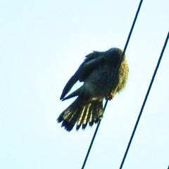Kestrel, 2019 Dec 09 -- photo 2 (Dunnock_D) Tags: britain england gb lancashire uk unitedkingdom bird blue kestrel perched perching preening sky bolton rivington