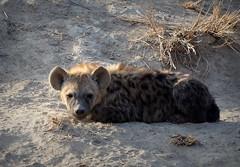 Morning light on Hyena Cub (RJAB2012) Tags: spottedhyena crocutacrocuta hyena cub kruger southafrica