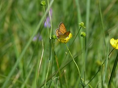 P1090975  Bronze Copper, male on Buttercup (birder2015 Toronto, Canada) Tags: bronzecopper butterfly lepidoptera insect