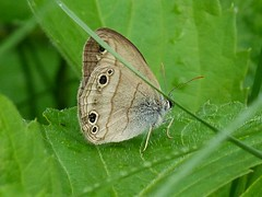 P1090046  Little Wood Satyr (birder2015 Toronto, Canada) Tags: littlewoodsatyr butterfly lepidoptera insect