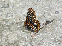 P1100425  Baltimore Checkerspot (birder2015 Toronto, Canada) Tags: baltimorecheckerspot butterfly lepidoptera insect