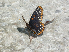 P1100423  Baltimore Checkerspot (birder2015 Toronto, Canada) Tags: baltimorecheckerspot butterfly lepidoptera insect