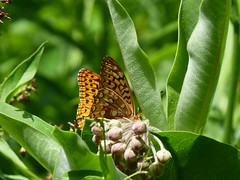 P1100514  Great Spangled Fritillary (birder2015 Toronto, Canada) Tags: greatspangledfritillary butterfly lepidoptera insect wildflower commonmilkweed