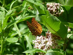 P1100516  Great Spangled Fritillary at Common Milkweed (birder2015 Toronto, Canada) Tags: greatspangledfritillary butterfly lepidoptera insect wildflower commonmilkweed