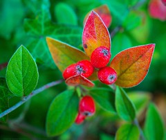 Christmas is coming (L@nce (ランス)) Tags: plant leaves leaf berry berries macro micro nikkor nikon britishcolumbia canada victoria