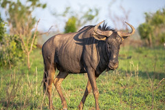 Wilderbeast (Mark Nicholas Heah) Tags: natgeowild natgeo nationalgeographic nationalpark nationalreserve naturereserve animal animals nature natural safari kruger southafrica africa mammal prey wilderbeast