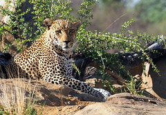 Male Leopard (RJAB2012) Tags: leopard pantherapardus kruger southafrica male