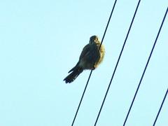 Kestrel, 2019 Dec 09 -- photo 3 (Dunnock_D) Tags: britain england gb lancashire uk unitedkingdom bird blue kestrel perched perching sky bolton rivington