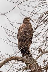 BALD EAGLE - IMMATURE (nsxbirder) Tags: baldeagle dearborncounty oxbow lawrenceburg birds immature indiana