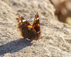 Red Admiral (Mikael Behrens) Tags: mikaelbehrens goliad wildlife insect butterfly texas unitedstatesofamerica