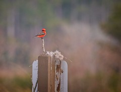 Vermilion Flycatcher (Goggla) Tags: florida stmarkswildliferefuge vermilionflycatcher wildlife bird male red goglog