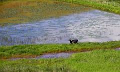 Cow (Márcia Valle) Tags: nature natureza márciavalle nikon d5100 brasil brazil primavera springtime green verde mataatlântica cow vaca lagoa pond water água roça
