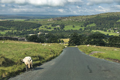 Obstacle (Ningaloo.) Tags: yorkshire dales national park england road trip sheep