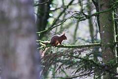 Eichhörnchen im Baum (margit37) Tags: vogel vögel natur baum eichhörnchen eichkätzchen bäume nüsse