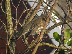 Redwing, 2019 Dec 15 -- photo 1 (Dunnock_D) Tags: britain chester england gb uk unitedkingdom bird perched perching redwing thrush tree