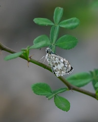 Checkered Skipper - 1 - 2 (Mikael Behrens) Tags: mikaelbehrens goliad wildlife insect butterfly texas unitedstatesofamerica