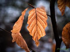 Blätter20190205DC-G9LEICA DG 12-60-F2.8-4.04519.jpg (c.gleim) Tags: reisen deutschland bergland wald natur blätter