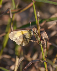 Dainty Sulphur (Mikael Behrens) Tags: mikaelbehrens wildlife insect texas corpuschristi butterfly cbc mathis unitedstatesofamerica