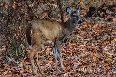 2019.12.14.8877 Front-Yard Deer (Brunswick Forge) Tags: 2019 virginia animal animals animalportraits nature wildlife nikkor200500mm nikond500 nikkor14xextender autumn botetourtcounty day woods evening afternoon tree trees forest outdoor outdoors grouped