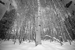 Fresh snow in the aspens (jbrad1134) Tags: trees snow aspens lake tahoe sierra nevadas bw blackandwhite monochrome winter wintry forrest landscape nature beautiful christmas fuji fujifilm xt3 laowa