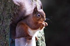 Eichhörnchen1 (margit37) Tags: vogel vögel natur baum eichhörnchen eichkätzchen nüsse