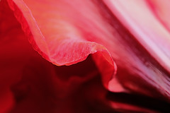 A Different View - Amaryllis (Modkuse) Tags: amaryllis flower abstract naturalabstract art artphotography artistic artisticphotography photoart fineartphotography fineart red bright brightcolors 80mm 80mmmacro xf80mmf28rlmoiswrmacro xf80mmf28rlmoiswrmacrolens fujinonxf80mmf28rlmoiswrmacro fujifilm fujinon fujifilmxh1 provia fujiprovia xh1proviasimulation xh1provia fujifilmproviasimulation nopostprocessing macro macrolens macrophotography macroflower