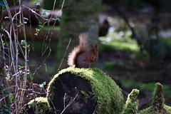 Eichhörnchen auf Baumstamm (margit37) Tags: vogel vögel natur baum eichhörnchen eichkätzchen bäume nüsse