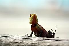 Reptil (margit37) Tags: vogel vögel natur baum reptil malediven sand strand