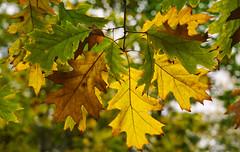 Eichen Laub (KaAuenwasser) Tags: roteiche eiche baum ast zweig laub blatt blätter bunt gelb grün braun pflanze herbst herbstlich natur 2019 wald