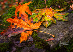 Another Cycle of Life (Raymond H Laurence) Tags: autumn leaves seasons