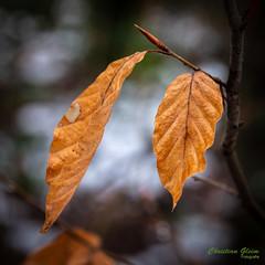 Blätter20190205DC-G9LEICA DG 12-60-F2.8-4.04513.jpg (c.gleim) Tags: reisen deutschland bergland wald natur blätter
