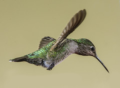 Where Did That Feeder Go? (Bill Gracey 25 Million Views) Tags: calypteanna hummingbird hummer yongnuo yongnuorf603n manualflash bif birdinflight 6flashsetup backgroundlight tanbackground color colorful nature